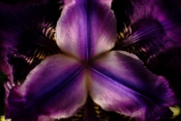 flor de iris
